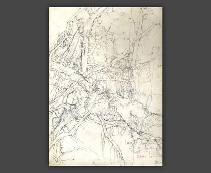 Studies of Fallen Silver Birch, Hag Wood  [1966]